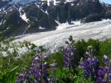 Purple flowers grow from grass along side a glacier.