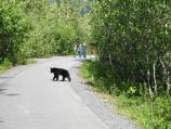 A small black bear crosses the paved trail at the Exit Glacier area, while a park ranger keeps visitors at a safe distance.
