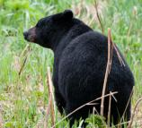 Rear-view of a black bear in tall grass.
