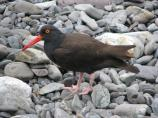 Side view of a black oystercatcher on a rocky beach.
