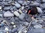 A black oystercatcher stands next to two of its eggs, which are grey with black specks.