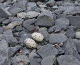 Two black oystercatcher eggs, which are grey with black speckles, are laid a small depression on a rocky beach.