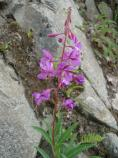 Fireweed plant in front of a rocky area