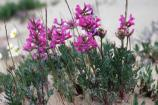 Bright pink flowers with green leaves growing in the sand.