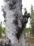 Lichen clings to tree bark