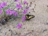 Butterfly resting on pink flowers growing in the sand.