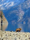 a brown bear on a rocky shore next to a lake, with steep mountains in the distance
