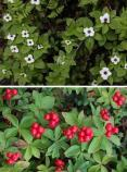 two images, one showing tiny white flowers on small green plants, the other showing clusters of small red berries on the same plants