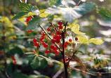 tall plant with numerous red berries