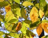 Beech tree leaves turning from green to fall colors of yellow and rusty brown