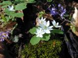 Rue Anemone (Anemonella thalictroides) and Blue Phlox (Phlox divaricata)