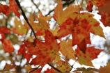 Red maple (Acer rubrum) leaves in October in Mammoth Cave National Park