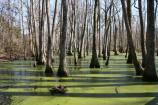 The 15-minute loop trail around, and through Cypress Swamp is a must when traveling the Parkway between Jackson and Tupelo, Mississippi. You're guaranteed to see baldcypress and water tupelo trees and maybe even an alligator!