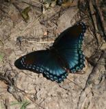 A red spotted purple butterfly is just one of the many butterflies visitors can see along the Natchez Trace Parkway.