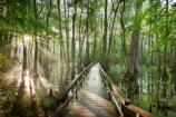A boardwalk trail allows access to the Cypress Swamp at milepost 122 on the Natchez Trace Parkway.