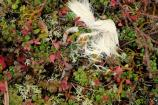 White caribou hair contrasts with tundra crowded with lichen and cranberry leaves