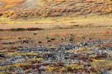 Caribou walk across the tundra