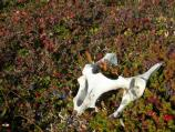 White bones lie on a thick mat of plants that include blue and red berries.
