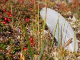 White feather and red berries on tundra