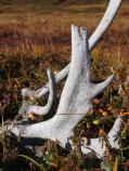 Weathered antler on the tundra