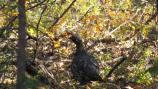 a spruce grouse blends in with brown and green brush