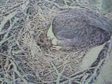 First egg of 2011 nesting season at Shiloh Battlefield