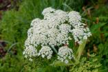 Cluster of white Cow Parsnip flowers.