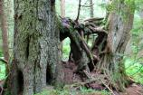 The trunks of two Western Hemlock trees.