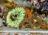 A bright green sea anemone nested among some rocks.
