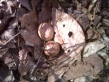 American woodcock nest with eggs