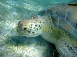 Green Turtle grazing on Syringodium filiforme.