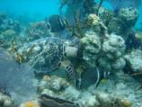 Hawksbill and Gray Angels