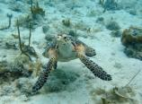 Hawksbill Checking Camera