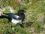 black billed magpie closeup