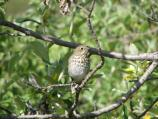 Hermit thrush among the willows