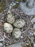 Close-up view of the plover nest.