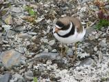 Semipalmated plover closeup