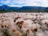 Lost Creek Trail- Field of Dryas