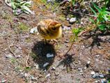 Willow Ptarmigan Chick
