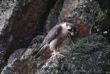 Adult falcon on cliff