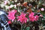 Mountain Rhododendron grows to 5 inches or more and is a very showy, bright flower.