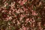 Alpine Azalea is an evergreen subshrub. Found in dry, acid soil in alpine locations.