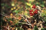 Found throughout Yukon-Charley Rivers, the lowbush cranberry is a succulent berry enjoyed in sauces, jelly and breads. Generally picked in very early fall, late August to early September, after the first frost finds the berries at the peak.