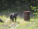 Black bears are sometimes seen in Coal Creek Camp