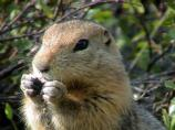 Arctic ground squirrel munching seeds