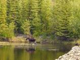 A moose feeds in a beaver pond at Coal Creek Camp.