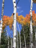 Colorful aspen in full fall color on the Cerro Grande Route.