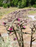 The hot pink flowers of cane cholla highlight a view of Tyuonyi Pueblo in early summer.