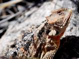 A close-up of a watchful Short-horned lizard on the Frijolito Loop Trail.