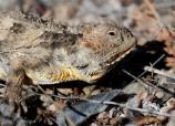 A close-up of a Short-horned Lizard
